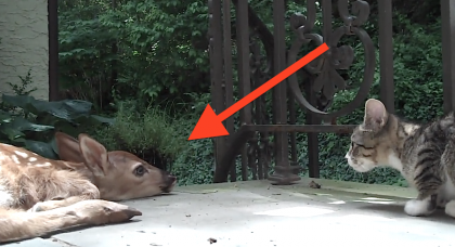 When This Kitten Discovers A Baby Deer On The Porch… You Gotta See What Happens!
