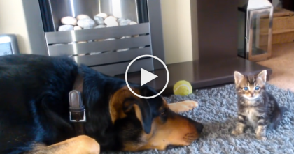 This Kitten Meets The Large Doggy, Watch What He Does… Awww!! :)
