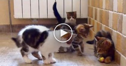 What Happens When You Give 1 Ball To 5 Kittens? You're About To See… SOO Cute!!
