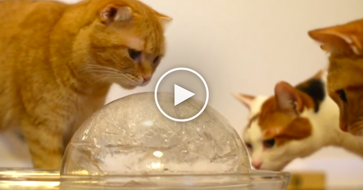 What Happens When You Give 9 Cats A Ball Of Ice You Re
