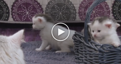 When These Kittens Discover The Basket, Just Watch Their Reactions… So Cute. NO Explanation Needed! :)
