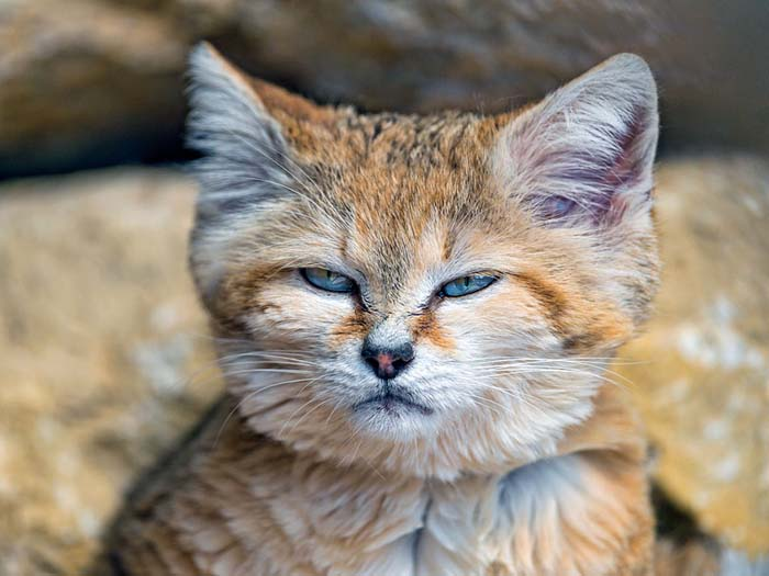 10_sand_cat_narrowed_eyes
