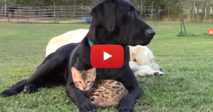 This Kitten Gives A Massage, Then Adorable Snuggles… What Could Be Better?! :)