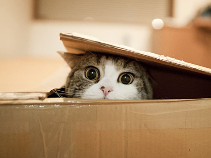 Maru_Cat_In_Box