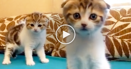 Adorable Scottish Fold Kittens Are Simply Irresistible… Just WATCH Them, Priceless!!