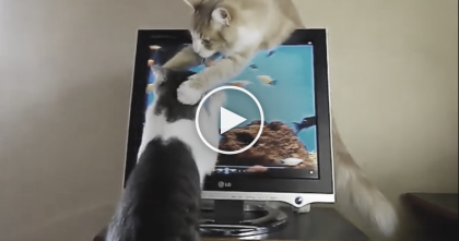 "Cat Tries Catching Fish On The TV, But When His Brother Notices… ""Plzzzz JUST STOP"""