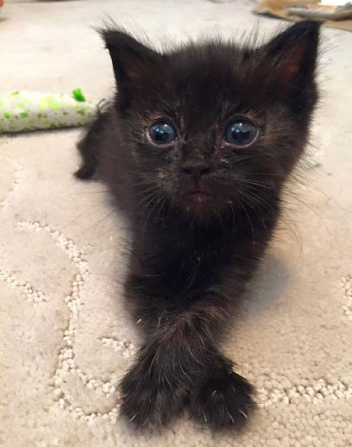 cute_black_kitten