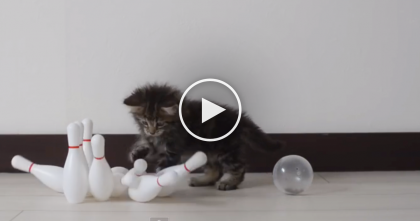 He Might Be A Kitten, But He's Bowling Like A Pro… Just WATCH Him Go!
