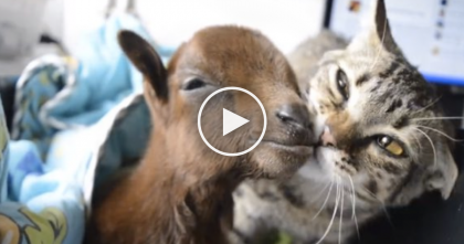 This Baby Goat Was Sick, But After The Rescued Cat Noticed… This Is AMAZING.