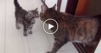WATCH When This Adopted Kitten Gets To Meet His 9 Cat Siblings For The First Time! Awww…