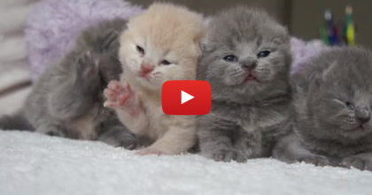 Fluffy Little Kittens Could Melt Even The Coldest Heart… Now Watch The Cuteness, OMG!