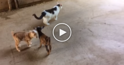 Moo the Barn Cat Has The Best Job On The Farm…Wait Till You See It!
