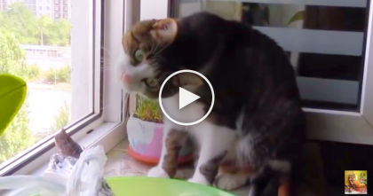 This Cat Tries His Hardest Not To, But When He Sees A Piece Of Fish… Just Watch, Awwww!!
