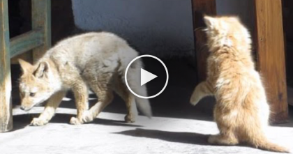 This Kitty Has The Most Unlikely Friend Ever, But When You See Them Together… Just WATCH.