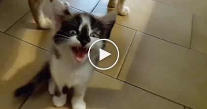 Turn Up Your Volume, Because You'll NEVER Hear A Cat Meowing Like This… OMG.