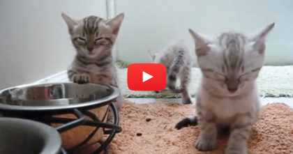 Adorable Kittens Get Sleepy, But You've Just Gotta See It… SOO Cute It Hurts, Awwww!!