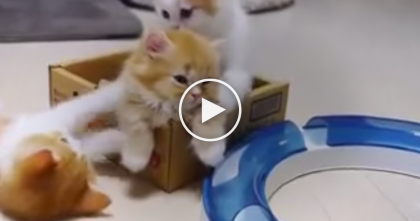 When You See These Adorable Munchkin Kittens… Your Heart Will Just Melt.