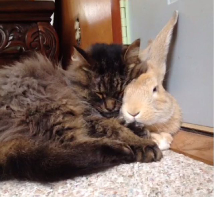 Cat_and_rabbit_cuddle