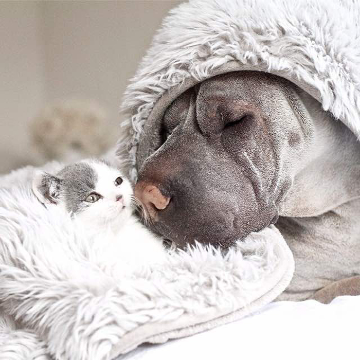 Dog_keeps_kitten_warm