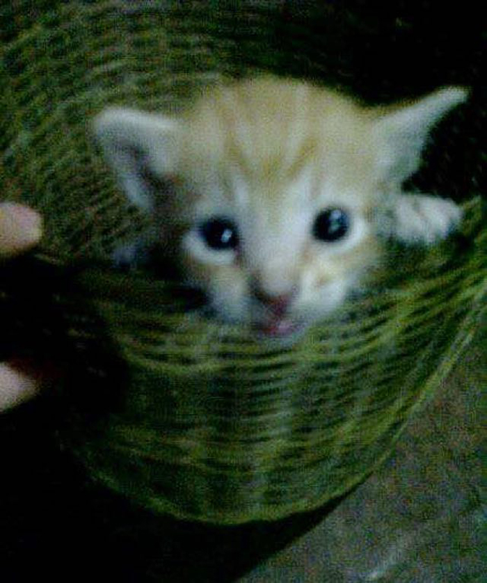 Kitten_in_basket