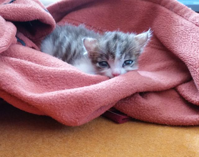 Kitten_in_blanket