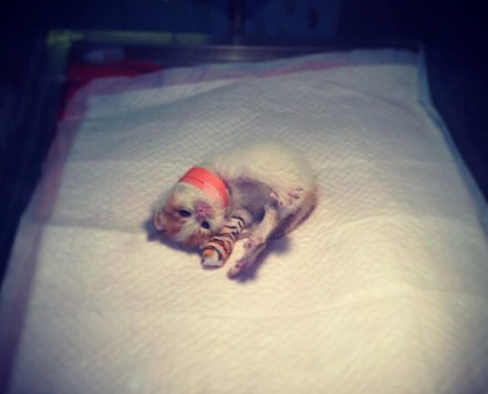 Kitten_on_hospital_bed