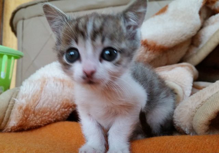 Kitten_with_big_eyes