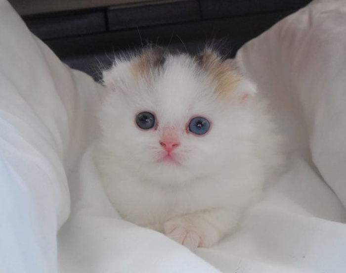 Male_scottish_fold_kitten