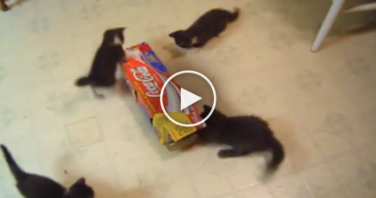 Kittens Try Playing With A Box For The First Time…The Results? HILARIOUS.