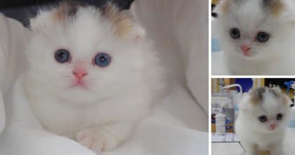 Vet Shocked When He Sees Once-In-A-Lifetime Discovery; A Male Calico Cat… One In A Million!