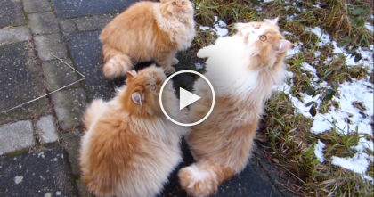 Watching These Fluffy Kitties Jumping For Joy Is The Best Thing Ever, You Gotta See It… :)