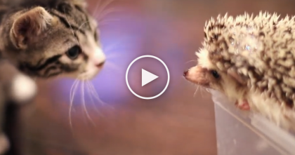 When Kitty First Meets A Little Hedgehog, It's Just TOO Cute To Handle… WATCH.