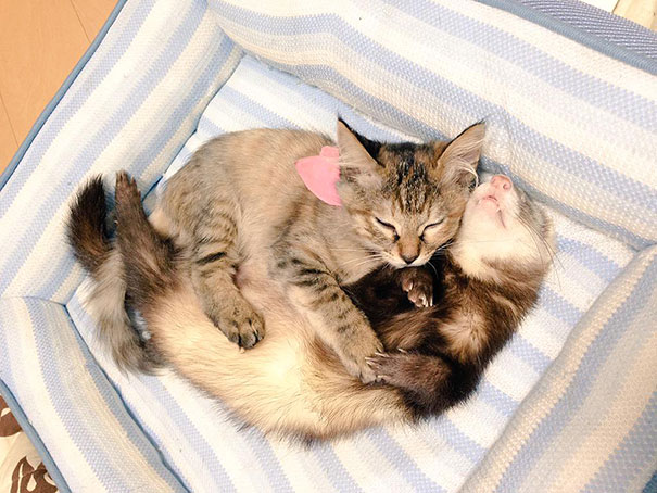 1-ferrets-with-rescue-kitten