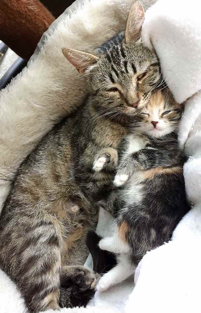 1_Mother_Cat_Hugs_Kitten