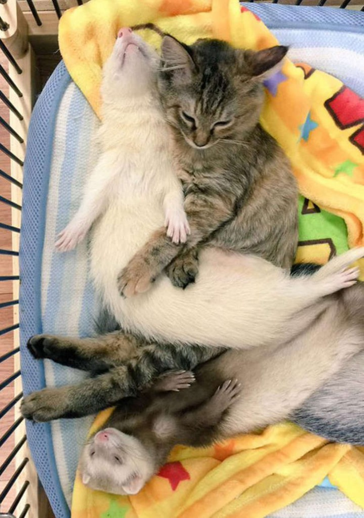 3-ferrets-with-rescue-kitten