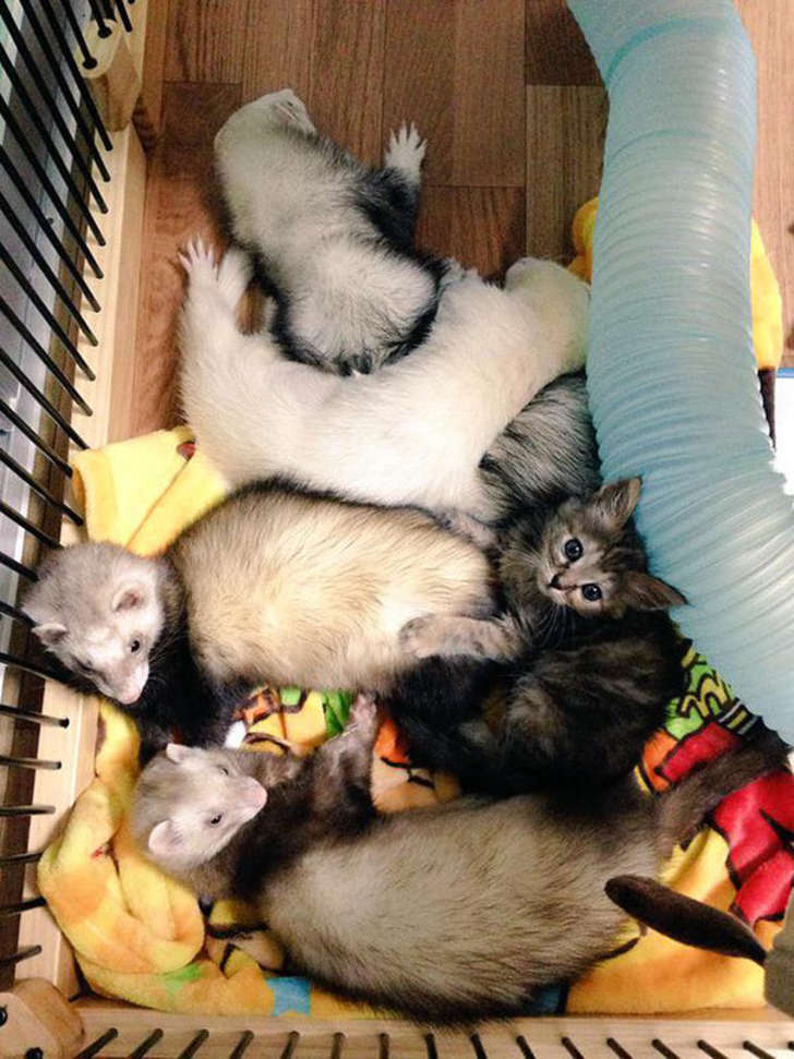 5-ferrets-with-rescue-kitten