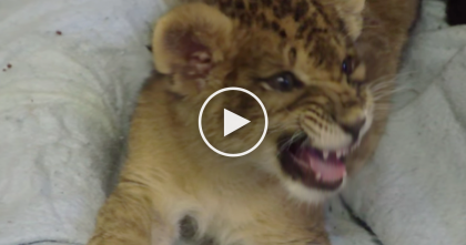 When They Heard This Little Lion Cub 'Meowing' They Started Recording… Just Watch And Listen!