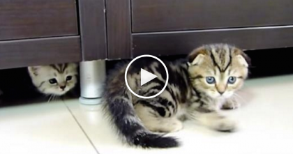 "Adorable Scottish Fold Kitten Has The Ninja Moves To Make You Say ""Awwww!"""