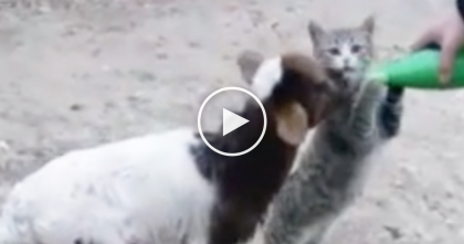 This Cat Refuses To Let Baby Goat Drink His Milk, Just Watch… SOO Hilarious!!