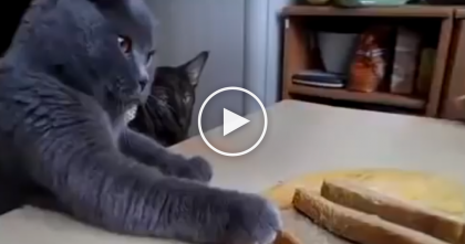 He Made Some Toast, But It's No Match For This Team Of Kitty Thieves… Just WATCH.
