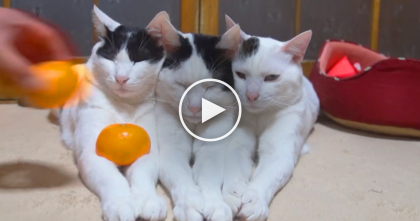 Kitties SOO Relaxed You Won't Believe It's Real… Just Watch What Their Human Does, WOW.