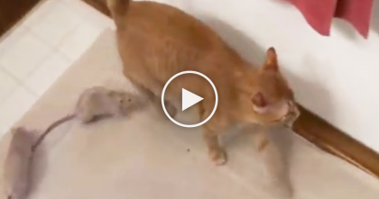 Ginger Kitty Meets Rats For The First Time, But I Never Expected This To Happen… WOW.
