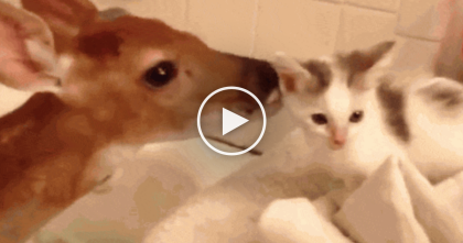 Rescued Baby Deer Meets Kitten For The First Time, Just Watch What Happens… Awwww!!