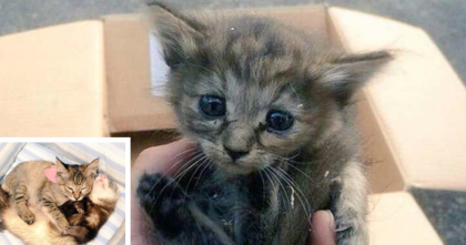 They Rescued This Kitten, But When He Met The Ferrets…Something Amazing Happened!