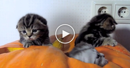 They Tried Carving Out Pumpkins, But When Kittens Discover Them…You'll Love This!