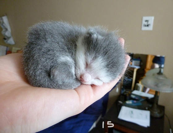 1-newborn-kitten-with-new-mom