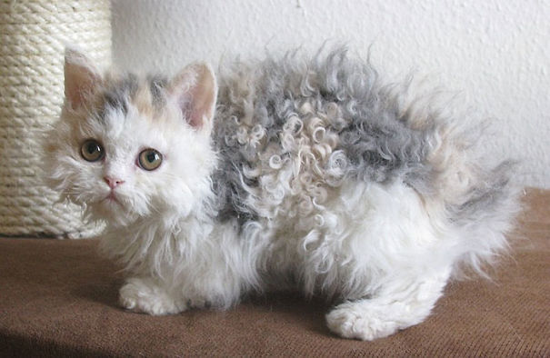 11-Fluffiest-fluffy-cats-in-the-world