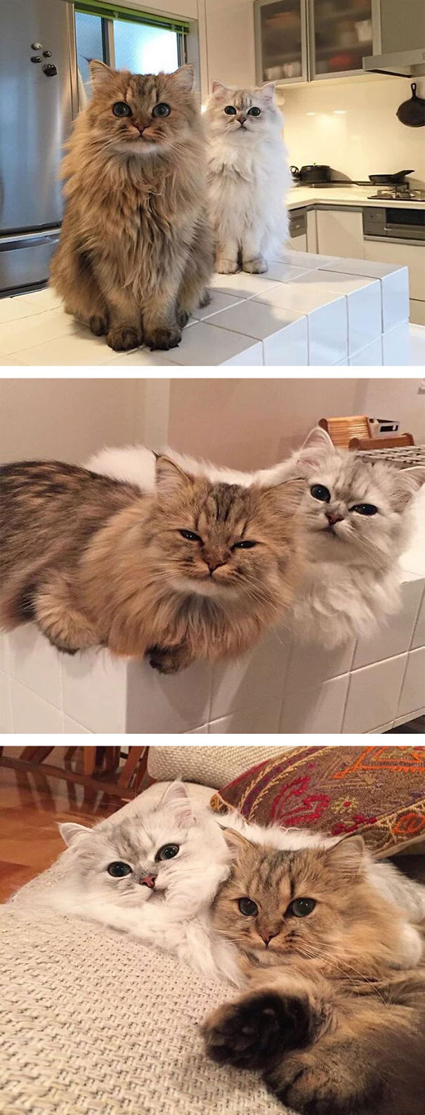 12-Fluffiest-fluffy-cats-in-the-world