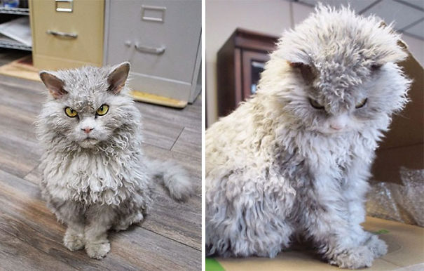 16-Fluffiest-fluffy-cats-in-the-world