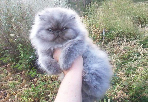 18-Fluffiest-fluffy-cats-in-the-world